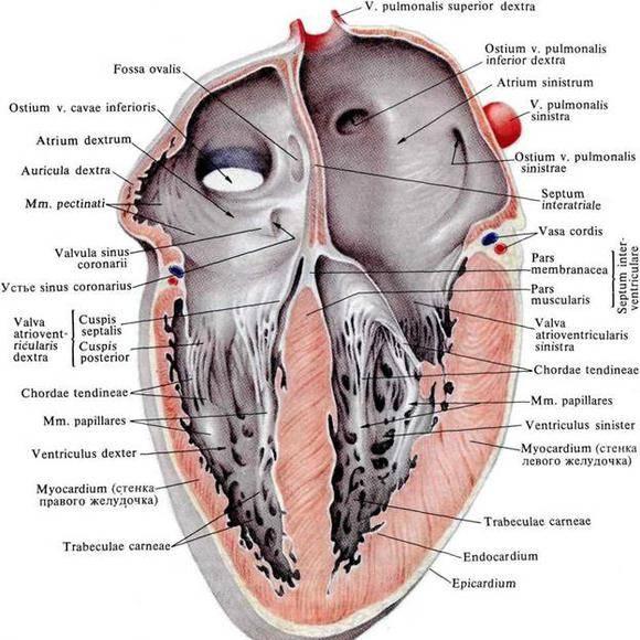 magas vérnyomás és a szívizom változásai