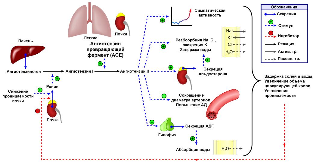 másodfokú hipertónia kockázata három magas vérnyomás és szívkoszorúér-betegség gyakorlása